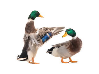 two male brown duck isolated
