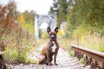 Serious tiger dog walks at abandoned railway
