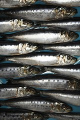 Close up of sardine fish