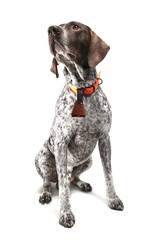 German Shorthaired Pointer sitting against white background