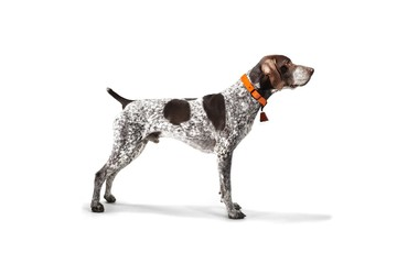 German Shorthaired Pointer standing against white background