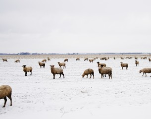 Sheep grazing on snowy landscape