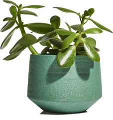 Jade plant isolated against white background