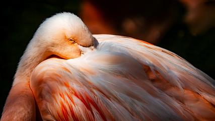 Close up of a flamingo