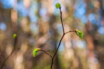 Young hazel tree branch sprout with growing leaves in spring forest