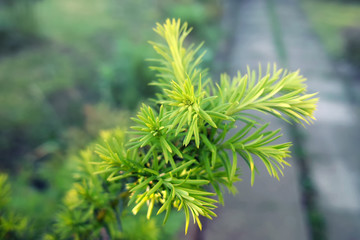 Yew tree. Growing branches with green needles.