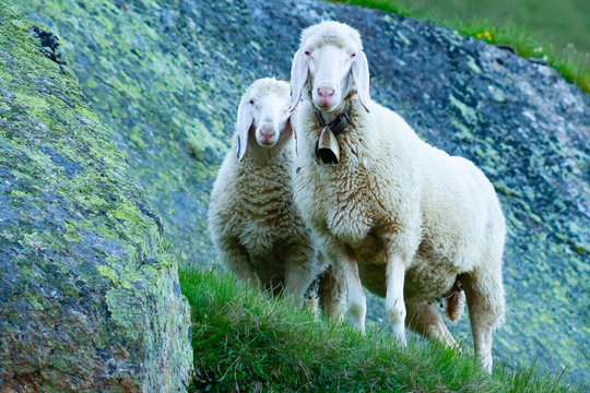 Tyrolean mountain sheep looking at the viewer, Stubai Valley, Tyrol, Austria