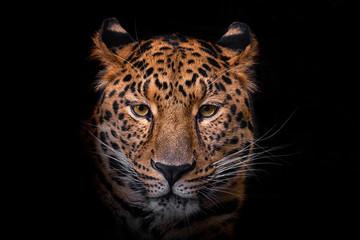 Photo sur Aluminium Leopard Panthera pardus orientali