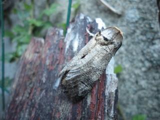 Papillon de nuit Pays de Loire