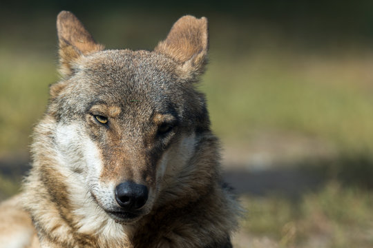 The wolf (Canis lupus)