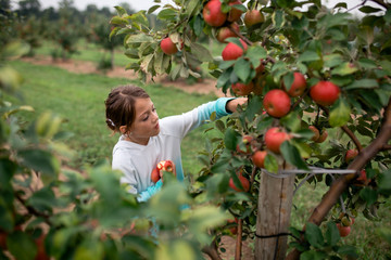 Girl harvesting apples from fruit tree at farm