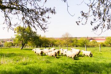 Brebis et agneaux se promènent dans une prairie au printemps