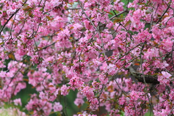 Crab Apple Tree Blossoms, Ohio
