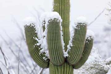 Saguaro Cactus covered in snow