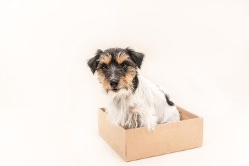 small dog sits obediently in a cardboard box. ready for mailing. Cute Jack Russell Terrier doggy 4 years old - hair style rough