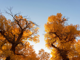 Golden populus euphratica trees with blue sky background in early morning, Ejina in the autumn. Landscape of the Populus euphratica scenic area in Ejina, Inner Mongolia, China.