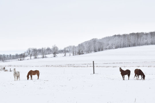 Four horses in a snowy pasture in winter standing and grazing