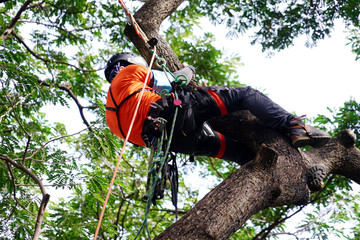Arborist or tree surgeon climbing tall tree on ropes used safety equipment at park.