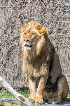 Wonderful Male Lion King Standing Straight for a Kodak Moment