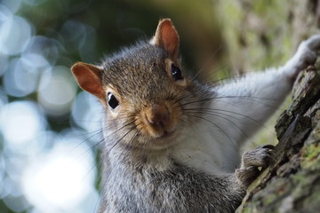Fotorolgordijn Eekhoorn Cheeky grey squirrel portrait