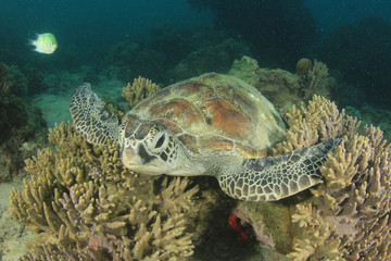 Green Sea Turtle rests on coral reef