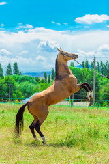 The horse reared. Brown horse face in harness. Horse runs across the field. A thoroughbred horse in...