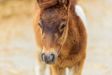 Foal horse pony. Farm for breeding horses. Lovely and gentle horses. Fluffy brown mane and sky-blue...