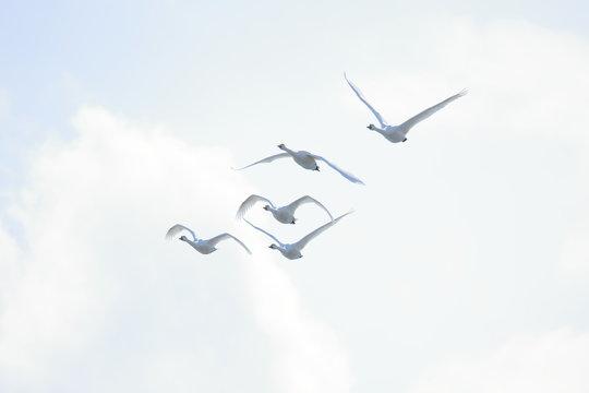 ハクチョウ Swans flock