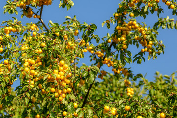 Ripe yellow mirabelle plums (Prunus domestica syriaca) on tree branches