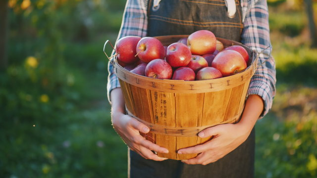 A farmer holds a basket with ripe red apples. Organic products from your garden