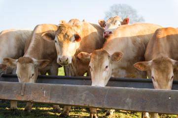 Fototapeta Des vaches mangent dans une mangeoire dans un près sous le soleil obraz