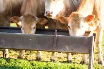Des vaches mangent dans une mangeoire dans un près sous le soleil