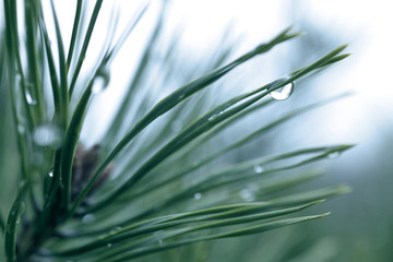 Wall Mural - Drops of rain on the needles of the pine branch close up. Spring nature background.