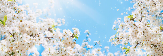 Branches of blossoming cherry macro with soft focus on gentle light blue sky background in sunlight with copy space. Beautiful floral image of spring nature panoramic view. Wall mural