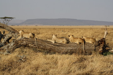 Lions in Serengeti National Park