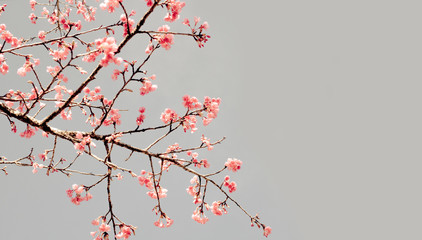 Branch of Cherry blossom on vintage color sky.
