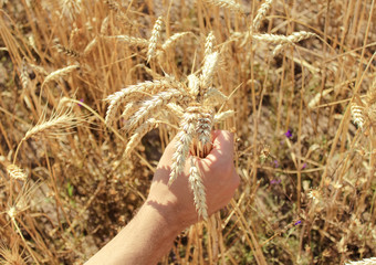 spikelets of wheat, hands, field