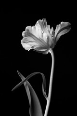 Classic beautiful monochrome dramatic blooming parrot tulip against a black background.