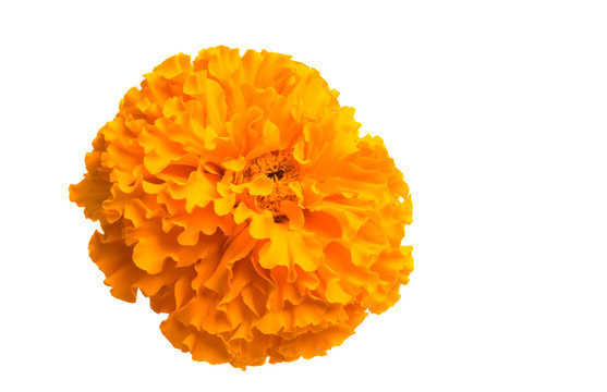 marigold flowers isolated