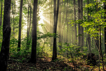 Forest Sunrise. Sunbeams illuminate the dark forest wilderness of a northern Michigan woodland.