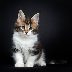 Sweet and super tiny Maine Coon cat kitten, sitting up with tail beside body Looking down beside camera with mesmerising green eyes. Isolated on a black background.