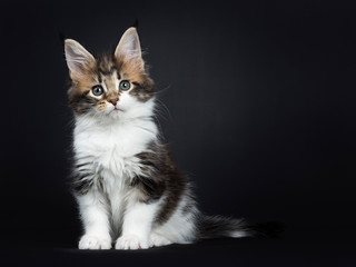 Sweet and super tiny Maine Coon cat kitten, sitting up with tail beside body Looking at camera with mesmerising green eyes. Isolated on a black background.