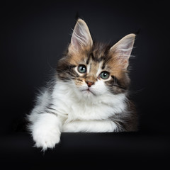 Sweet and super tiny Maine Coon cat kitten, laying down with one paw hanging down from edge. Looking at camera with mesmerising green eyes. Isolated on a black background.