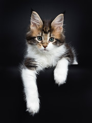 Sweet and super tiny Maine Coon cat kitten, laying down with paws hanging down from edge. Looking at camera with mesmerising green eyes. Isolated on a black background.