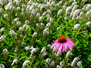 Pink Coneflower in a Field of White Butterfly Bush