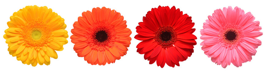 Poster de jardin Gerbera Collection beautiful delicate flowers gerberas isolated on white background. Fashionable creative floral composition. Summer, spring. Flat lay, top view