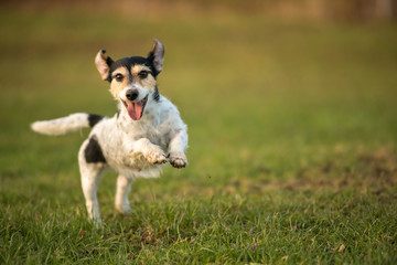 small dog runs and flies over a green meadow in spring. Jack Russell Terrier Hound 8 years old