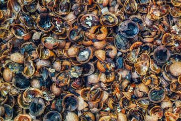 rotten walnuts infected with mold