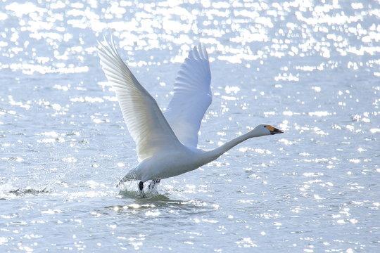 飛び立つハクチョウ Swans take off