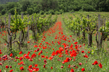 Growing grapes and poppies in a vineyard